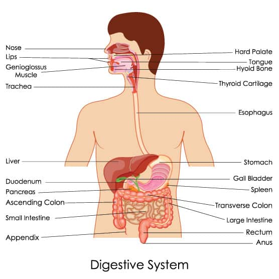 How the Digestive System Works