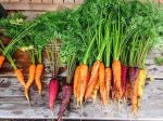 importance of roots - carrots as food