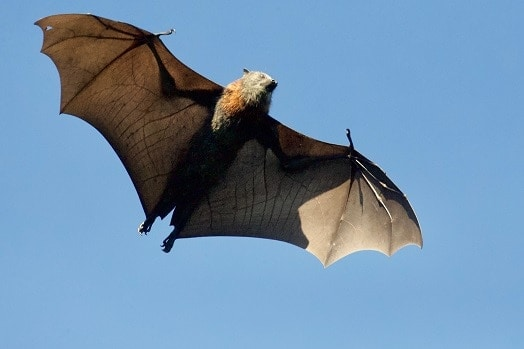 Interesting Facts about Mammals- bats which can fly (flying fox(