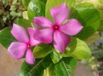 Uses of flowers Vinca Anti cancer drug
