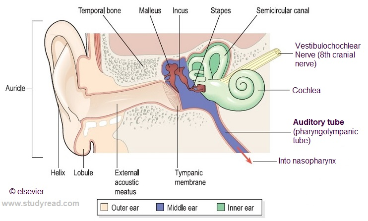 ear structure