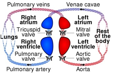 circulation involving heart