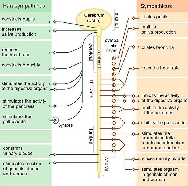Sympathetic Vs Parasympathetic