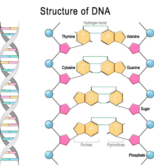 DNA structure Nucleic Acid Chemistry
