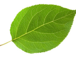 Types of leaves