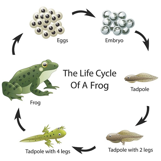 Life Cycle of Frog-egg_tadpole_frog