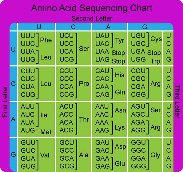amino acid codons RNA Translation
