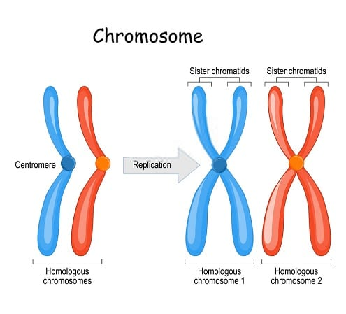 Differences Between Chromosomes and Chromatids