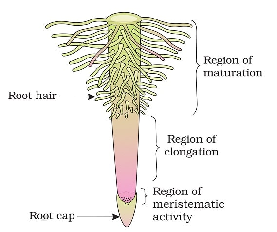 Parts-of-Roots