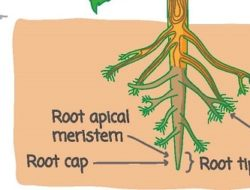Parts of Roots