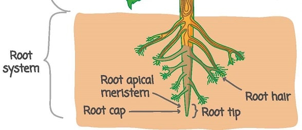 The Parts Of Roots And Their Functions In Detail With Diagram