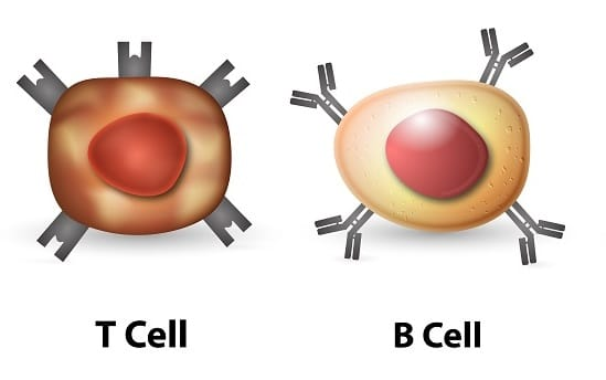 Difference between T cells and B cells