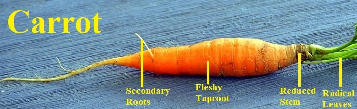 storage roots carrot