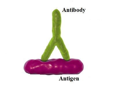 Differences between antigen and antibody