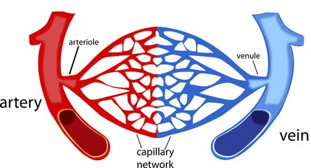 Structure of capillaries