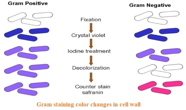 Differences between gram positive and gram negative bacteria