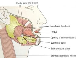 salivary glands location