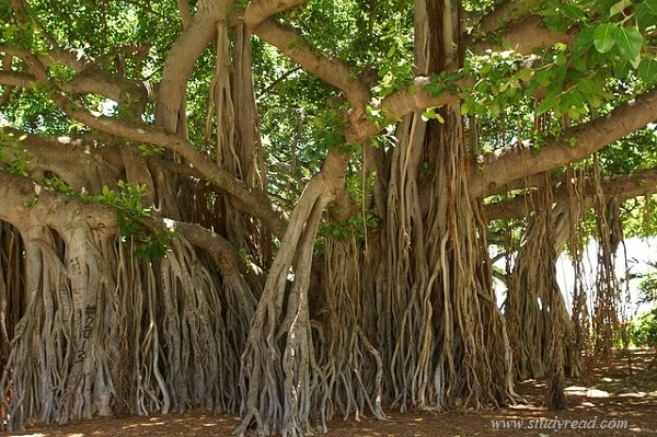 banyan adventitious roots