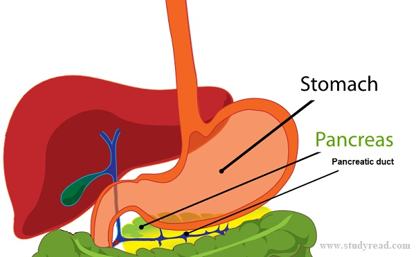 Stomach a major hollow organ